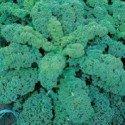 kale green curled afro - semillas certificadas no tratadas