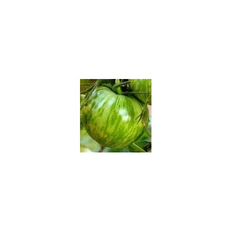 plantel de tomate cebra verde