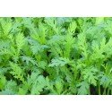 crisantemo garland - Shungiku - semillas sin tratamiento