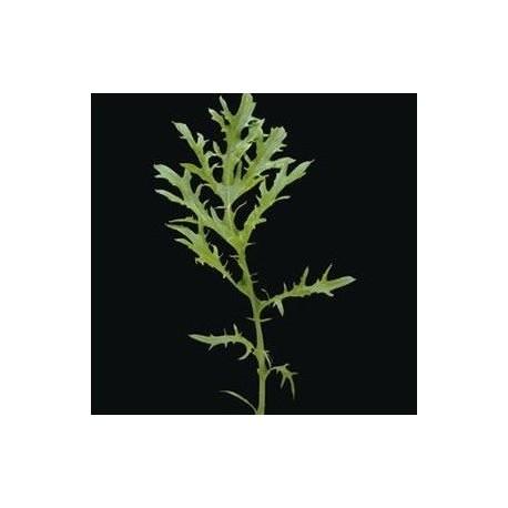 Mostaza Oriental Golden Streaks - semillas sin tratamiento