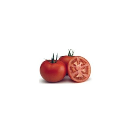 plantel de tomate jack
