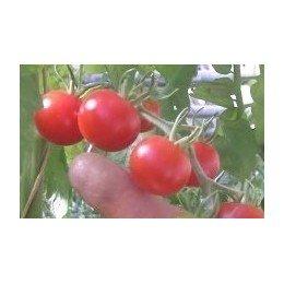 plantel de tomate miel de Mexico