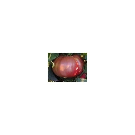plantel de tomate rosa ple