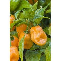 pimiento habanero naranja - semillas ecologicas