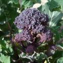 Brócoli Early Purple (Semillas Ecológicas)