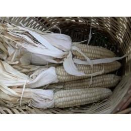 maiz de escuadrar (semillas ecológicas)