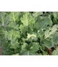 col de trinxat (semillas ecológicas)