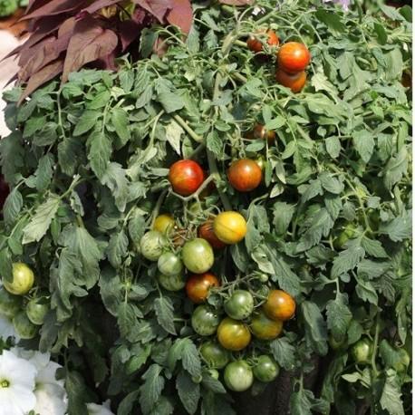 tomate tumbling jester (semillas no tratadas)