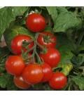 tomate Tiny Tim (semillas sin tratamiento)