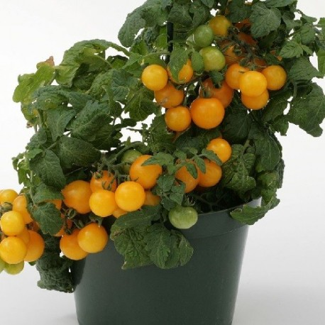 Tomate Sweet & Neat Lemon Sherbert
