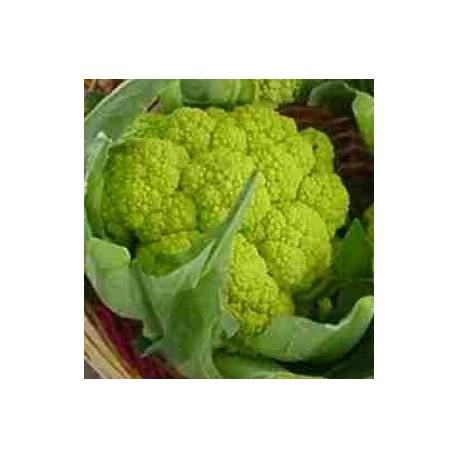 coliflor verde Macerata sel. precoz
