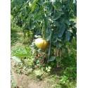 plantel de tomata