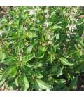 albahaca lima (semillas no tratadas)