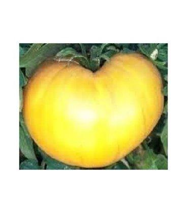 plantel de tomate azoychka
