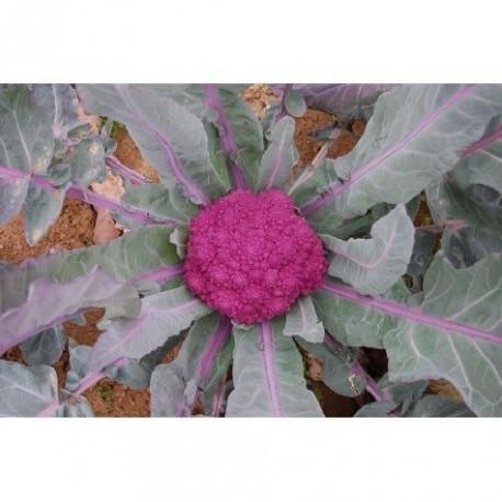 brocoli morado de Santa Teresa (semillas ecologicas)