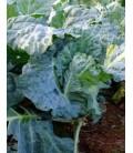 col paperina o de pascua (semillas ecologicas)