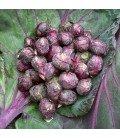 col de Bruselas morada red bull (semillas sin tratamiento)