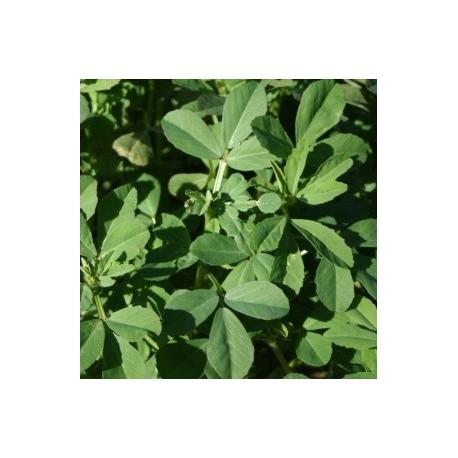 fenogreco (semillas sin tratamiento)