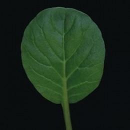 tatsoi tah sai (semillas sin tratamiento)