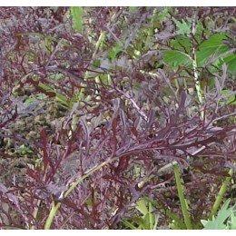 mostaza oriental Ruby Streaks (semillas sin tratamiento)