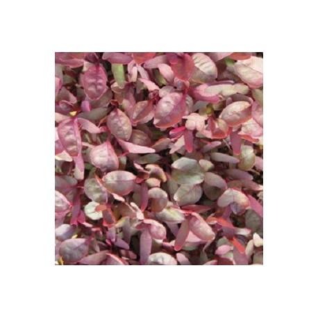 amaranto garned red (semillas sin tratamiento)