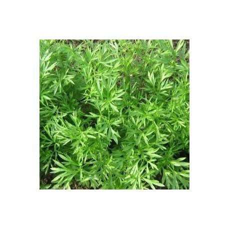 cilantro confetti (semillas sin tratamiento)