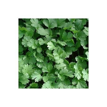 Cilantro Calypso (semillas sin tratamiento)
