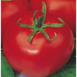 plantel de tomate Tres Cantos