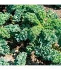 col rizada - kale ostfriesische palme (semillas biodinamicas)