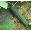 pepino marketmore (semillas ecologicas)