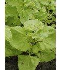 arnuelle (Atriplex hortensis) semillas ecológicas