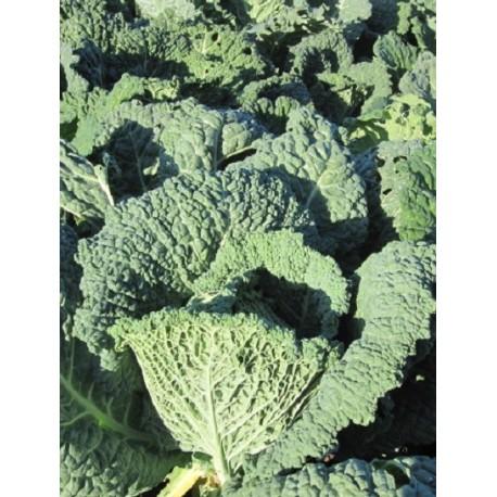 semillas ecológicas de col Milán virtudes 3 - repollo rizado