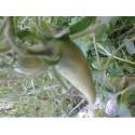 plantel de tomate cuerno de los Andes (ecológico)