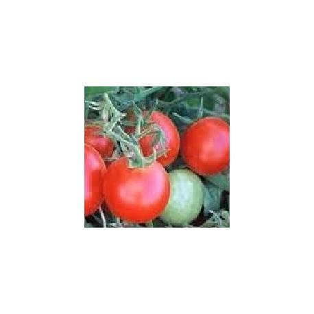 plantel de tomate Czech Bush