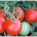 plantel de tomate Czech Bush ideal huerto urbano