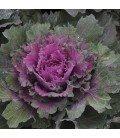 kale buttonhole (semillas no tratadas)