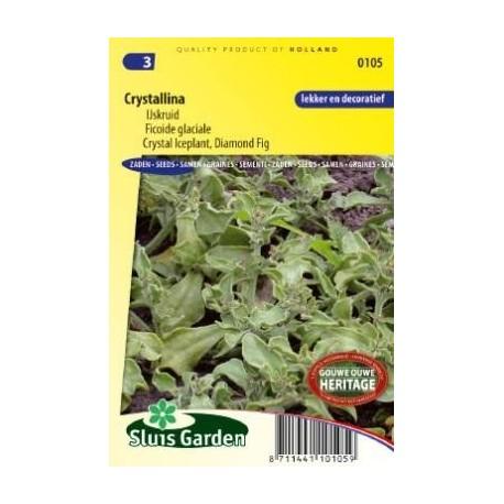 barrilla, escarcha (Mesembryanthemum crystallinum)