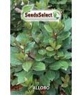 laurel (Laurus nobilis)