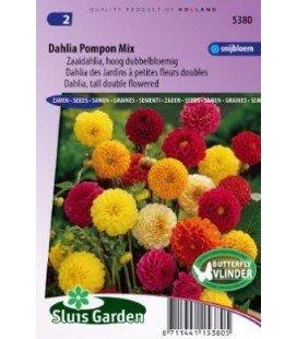 dalia pompón doble (Dahlia variabilis)