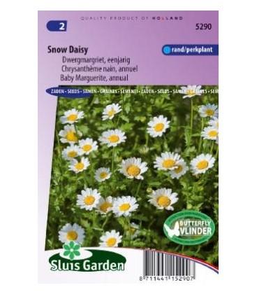 crisantemo (Chrysanthemum paludosum)