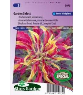 amaranto tricolor (Amaranthus gangeticus)