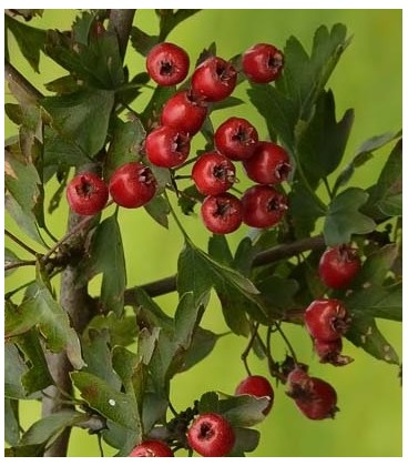 espino albar (Crataegus monogyna)