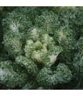 kale Emerald Ice (semillas sin tratamiento)