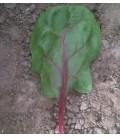 espinaca red veined F1 (semillas sin tratamiento)