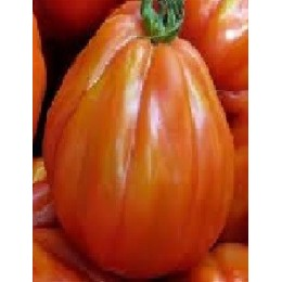 plantel de tomate charlie chaplin