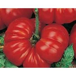 plantel de tomate Aussie
