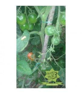 tomate Stupice (semillas ecológicas)