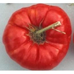 plantel de tomate gigante Omars Lebanese
