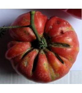 tomate belle portugaise - plantel