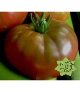 tomate cuban black - plantel